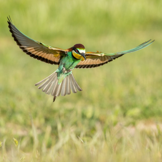 """Bee-Eater hovering"" stock image"
