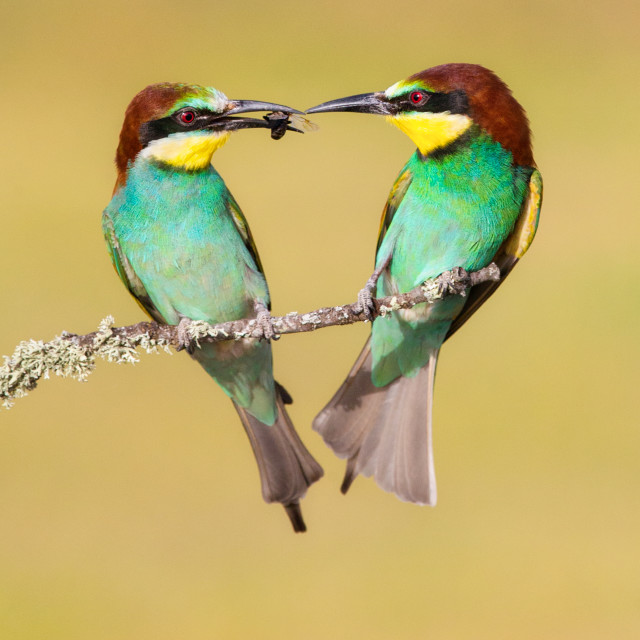 """Bee-Eater courtship"" stock image"