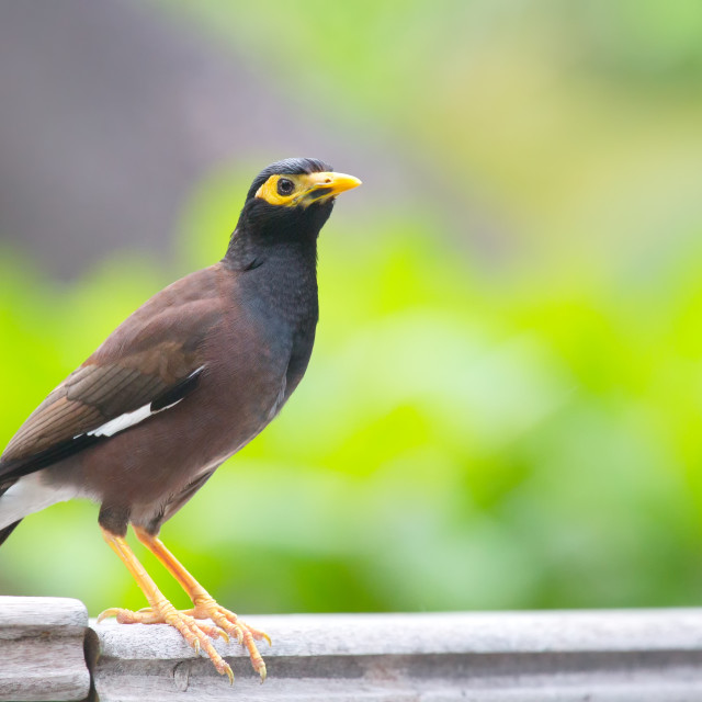 """Common Myna (Acridotheres tristis)"" stock image"