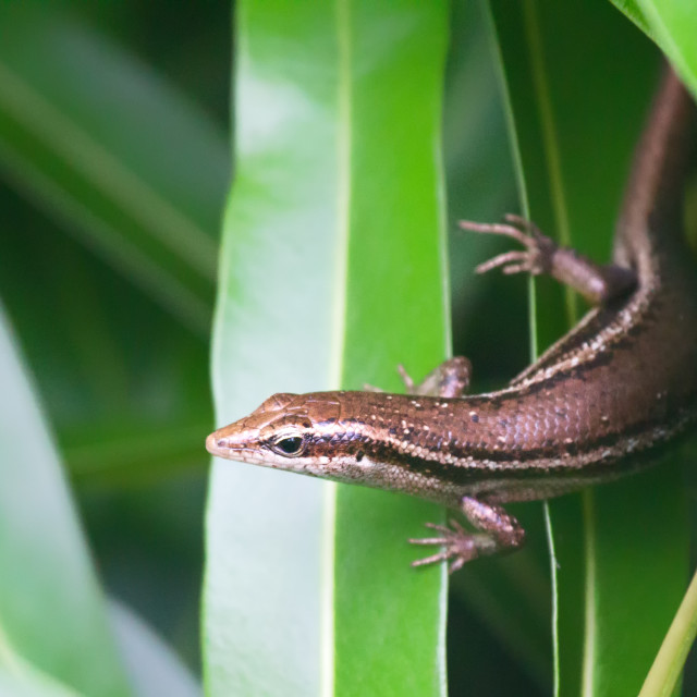 """Seychelles skink (Trachylepis seychellensis)"" stock image"