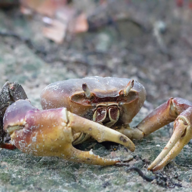 """Land Crab (Cardisoma carnifex)"" stock image"