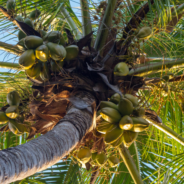 """Coconut palm"" stock image"