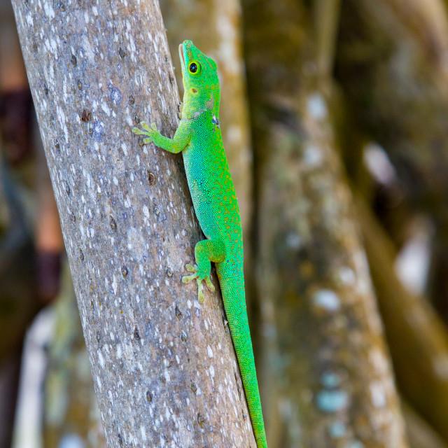 """""""La Digue Day Gecko (Phelsuma sundbergi ladiguensis)"""" stock image"""