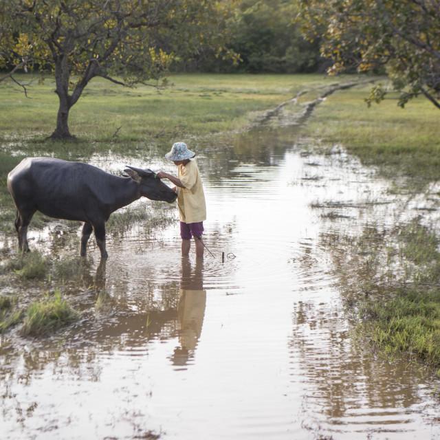 """CAMBODIA KAMPONG THOM AGRICULTURE BUFFALO"" stock image"