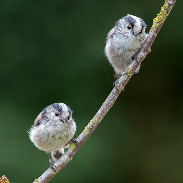 """""""A pair of Long-tailed Tits"""" stock image"""