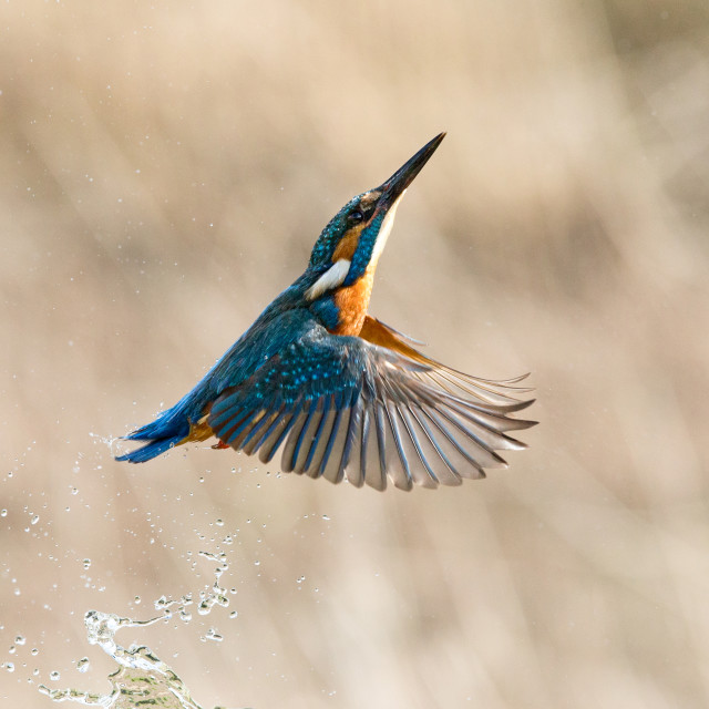 """""""Kingfisher returning from a dive"""" stock image"""