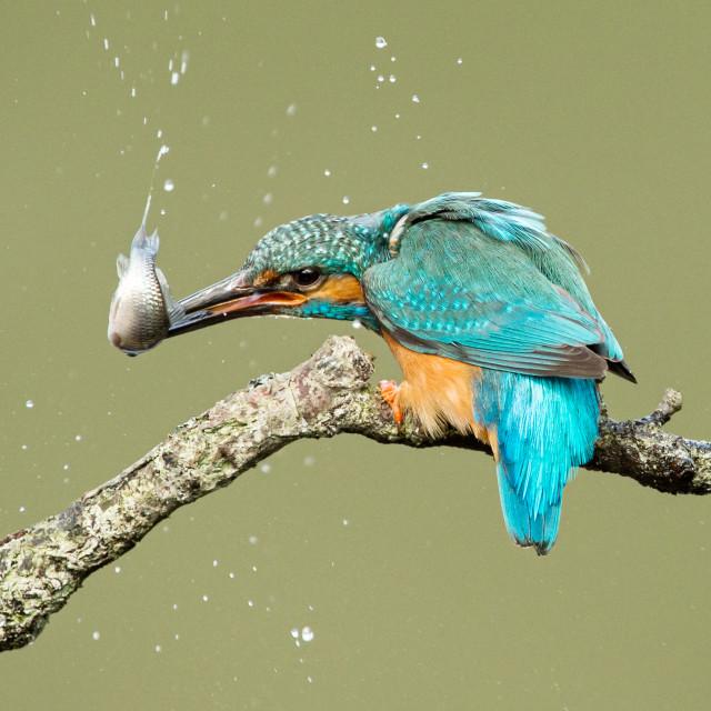 """Kingfisher stunning a fish"" stock image"