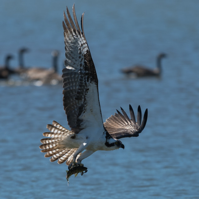 """Osprey catching a fish"" stock image"