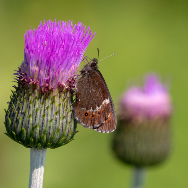 """Arran brown on thistle"" stock image"
