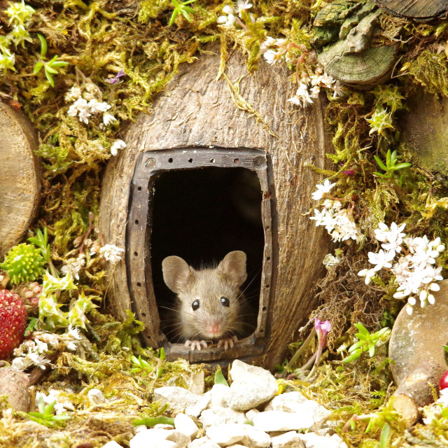 """house mouse in a mossy log pile home"" stock image"
