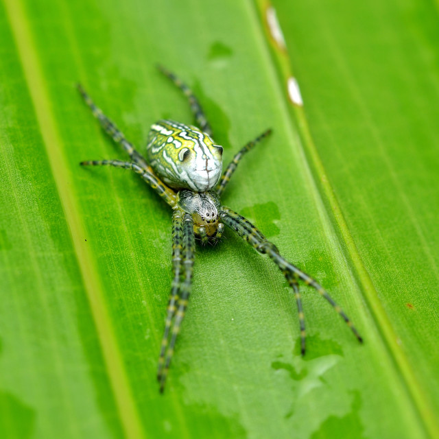 """Cyrtophora moluccensis Spider"" stock image"