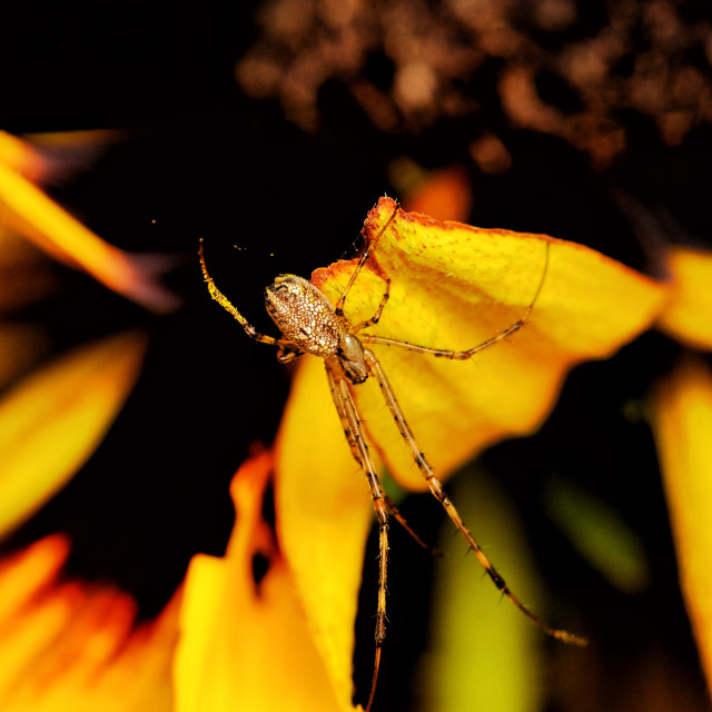 """Tylorida ventralis spider"" stock image"
