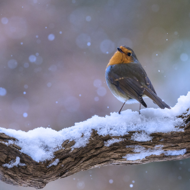 """Robin perched in winter"" stock image"