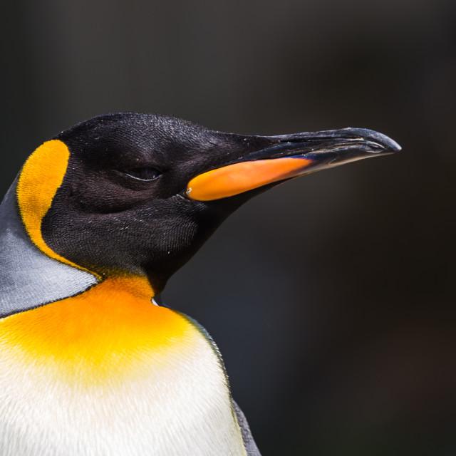 """Portrait of a King Penguin"" stock image"