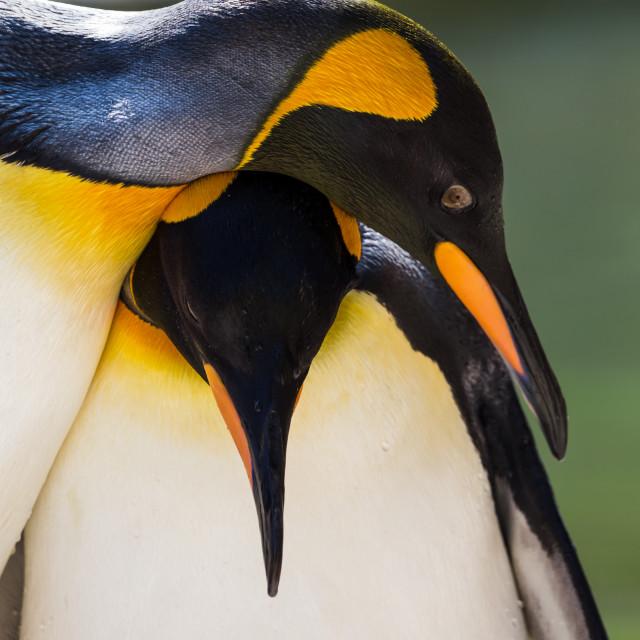 """King Penguin pair"" stock image"