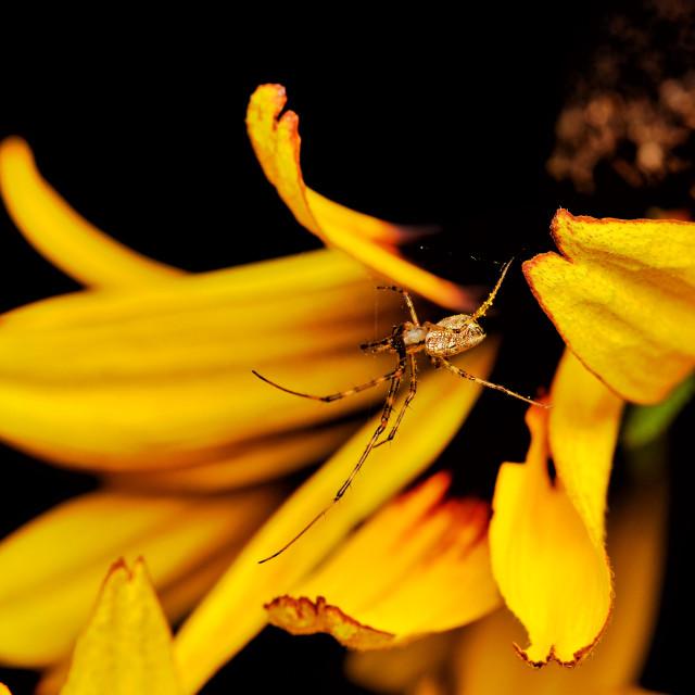 """Tylorida ventralis spider on yellow petals"" stock image"
