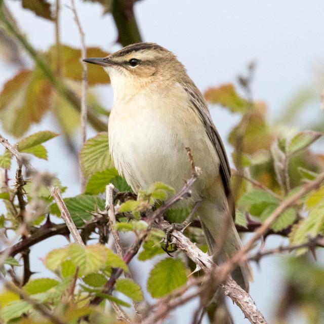 """Sedge Warbler (Acrocephalus schoenobaenus)"" stock image"