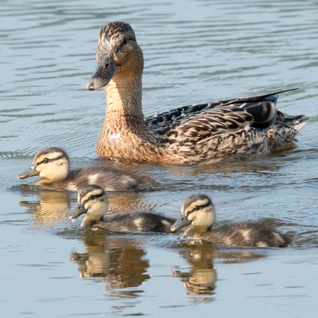 """Mallard duck with ducklings (Anas platyrhynchos)"" stock image"
