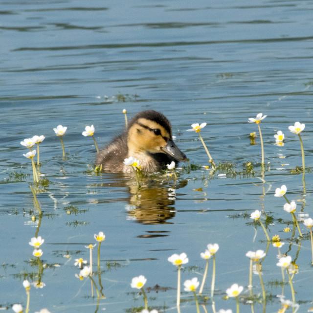 """Mallard Duckling(Anas platyrhynchos)"" stock image"