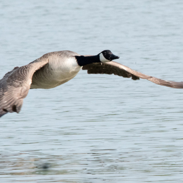 """Canada Goose (Branta canadensis)"" stock image"