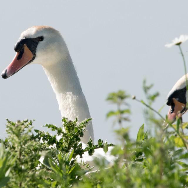 """Mute Swan (Cygnus olor)"" stock image"