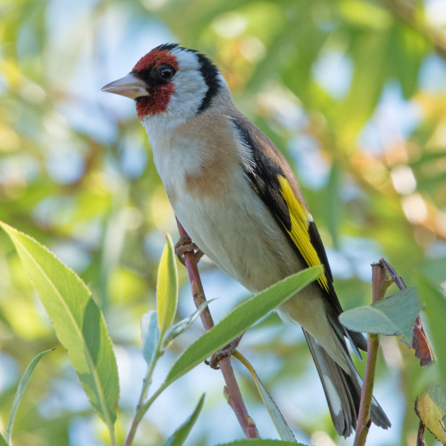 """European goldfinch (Carduelis carduelis)"" stock image"
