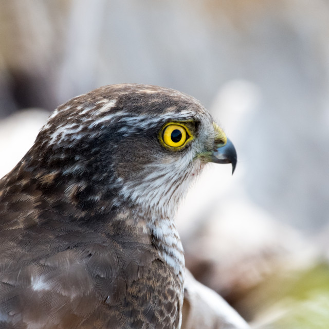 """Sparrowhawk (Accipiter nisus)"" stock image"