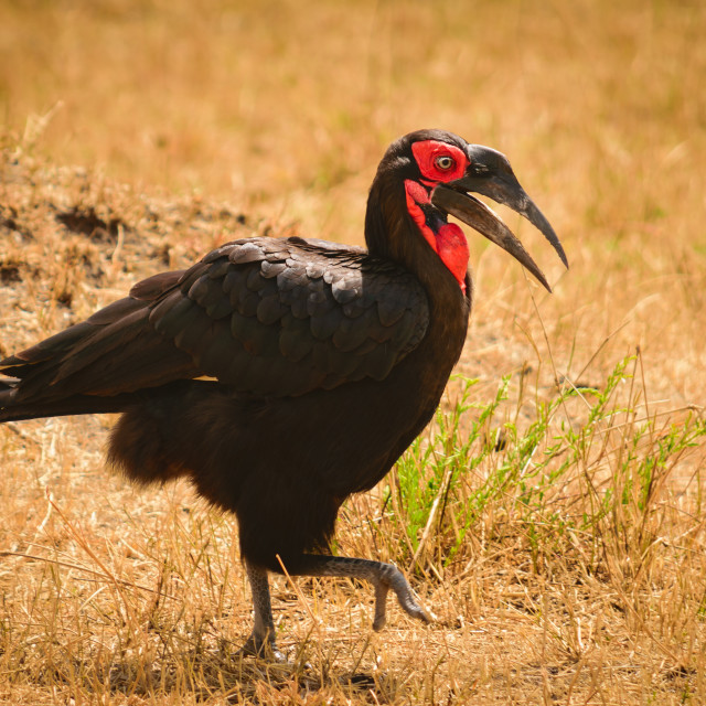 """""""Southern Ground Hornbill"""" stock image"""