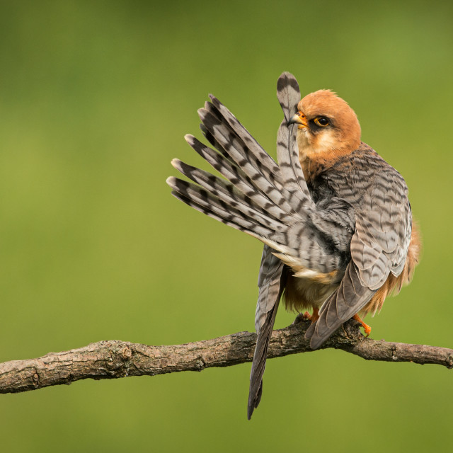"""Red-footed Falcon preening."" stock image"