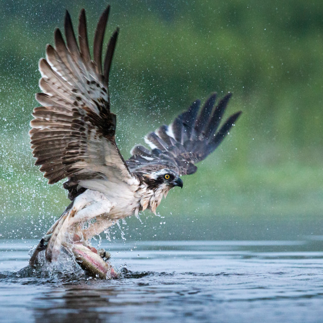 """Osprey taking a Trout"" stock image"