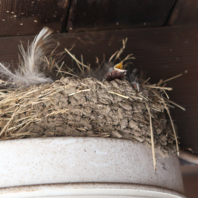 """Housemartin Chick"" stock image"
