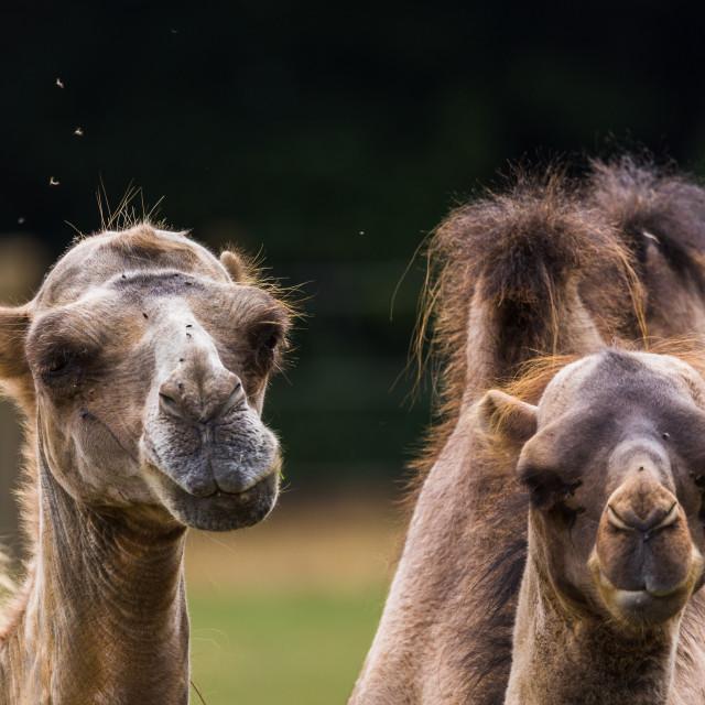 """""""Bactrian camel pair"""" stock image"""