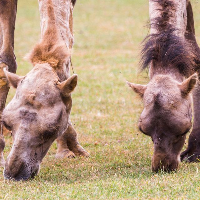 """""""Bactrian camel pair stretching down to feed"""" stock image"""