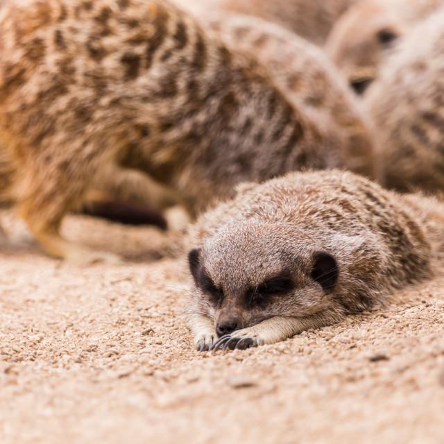 """Slender tailed meerkat"" stock image"