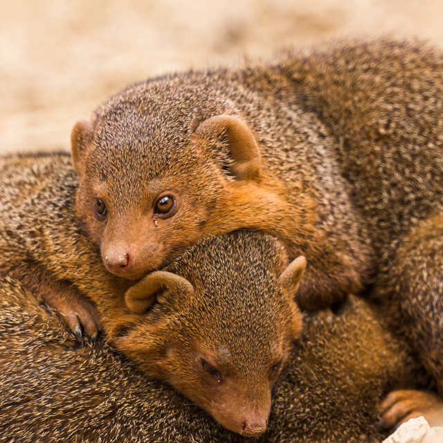 """""""Common dwarf mongoose lying on one another"""" stock image"""