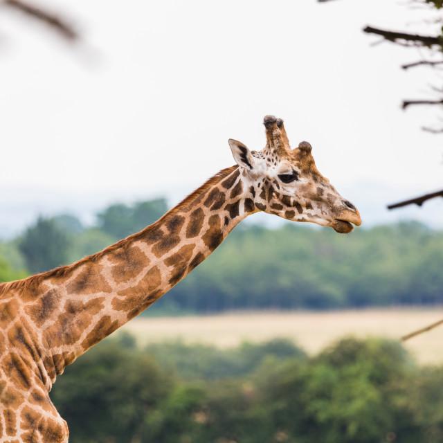 """""""Giraffe against the landscape"""" stock image"""