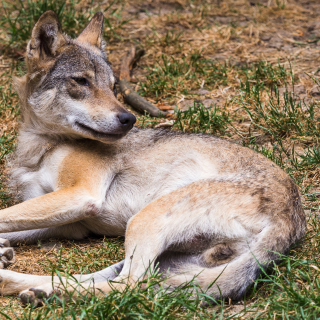 """""""Eurasian Wolf resting on the ground"""" stock image"""