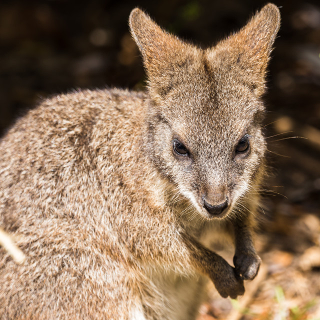 """""""Parma Wallaby foraging"""" stock image"""
