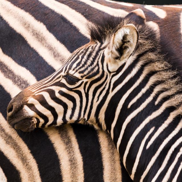 """Chapmans Zebra mother and baby"" stock image"