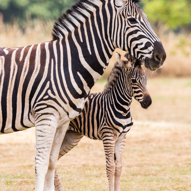 """Baby Chapmans Zebra"" stock image"