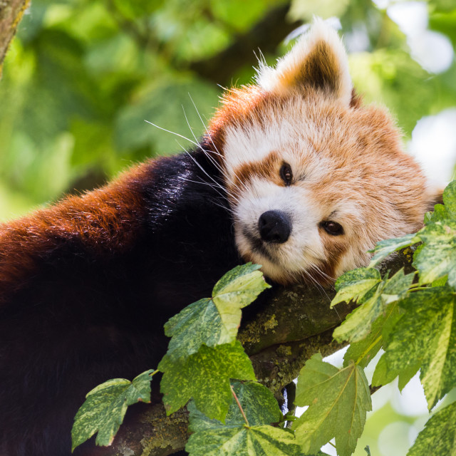 """""""Red Panda resting in a tree"""" stock image"""