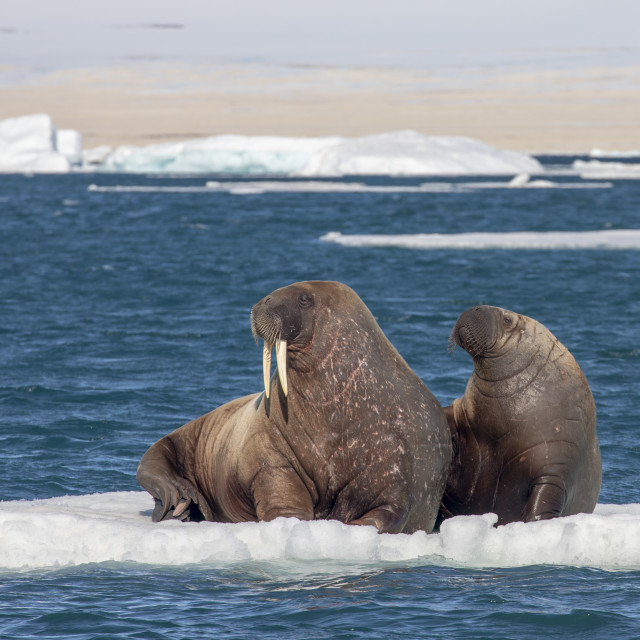 """A walrus mother and calf on Arctic iceberg"" stock image"