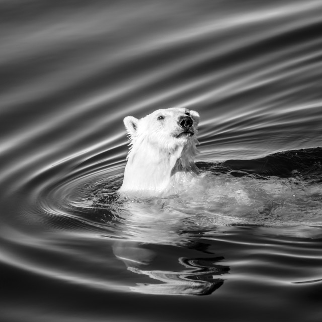 """Swimming polar bear"" stock image"