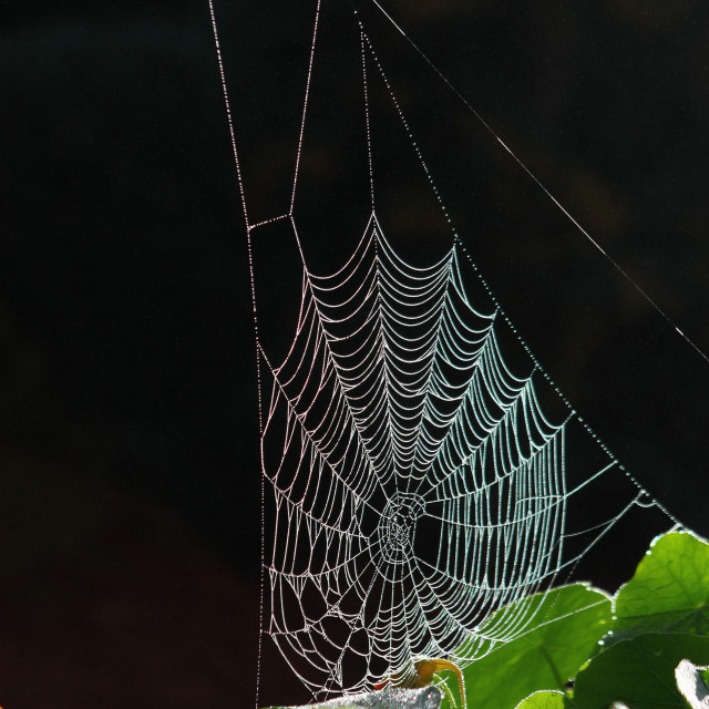 """Spiders web & foliage with frost"" stock image"