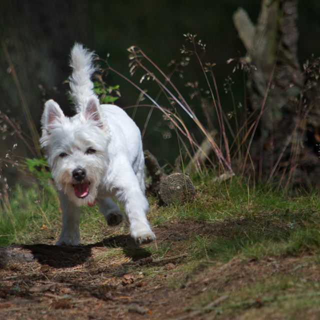 """West Highland Terrier romp"" stock image"