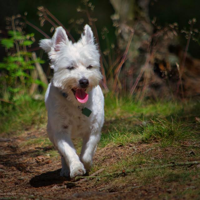 """West Highland Terrier running"" stock image"