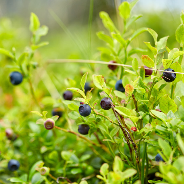 """""""Blueberry bushes in the forest"""" stock image"""
