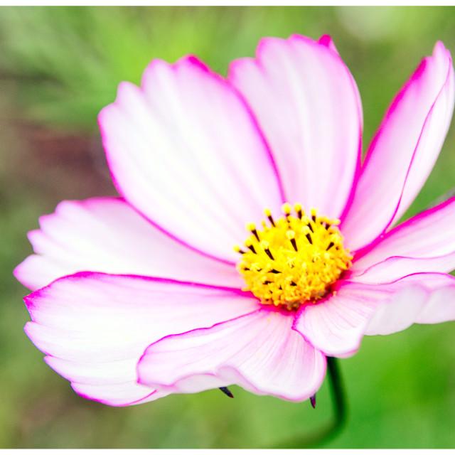 """""""Full Bloom"""" stock image"""