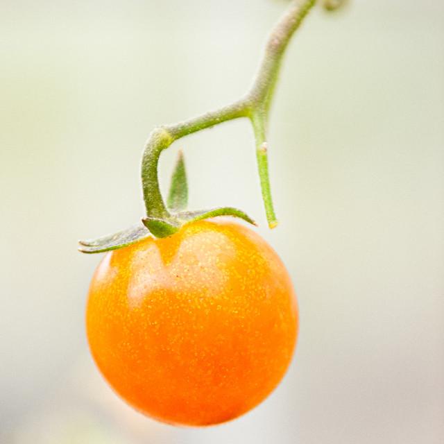 """Tomato on the vine"" stock image"