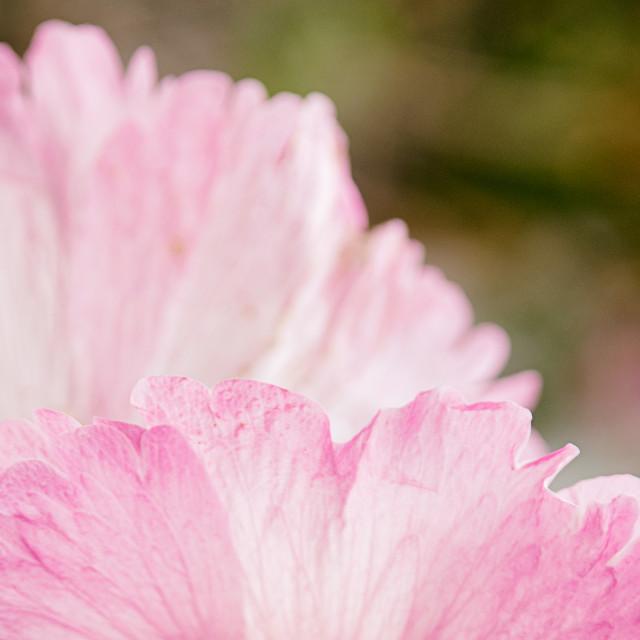"""""""Pink Petals"""" stock image"""